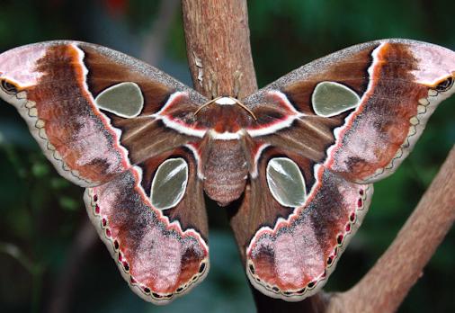 A photo of the nearly extinct Kautesamai.
